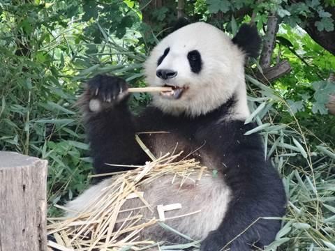 Panda beim Bambusfressen
